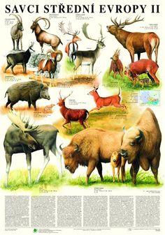 Savci střední Evropy II. -nástěnná tabule ( 67x96 cm ) | ALBRA - Prodej a distribuce učebnic