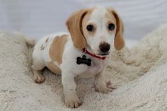 Name(s): TobyAge: 12 weeksSize: 4.6 lbsCoat: Cream Piebald, SmoothTemperament: All puppy!Good with Dogs: YesGood with Cats: UnknownGood with Kids: Yes, as long as they're respectful of his small sizeSpecial Needs: No, but he does have a...