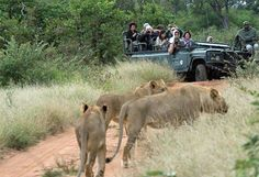 www.sunsafaris.com #Simbavati #River #Lodge #photography #safaris #kruger #national #park #timbavati #game #reserve #lions #game #drive