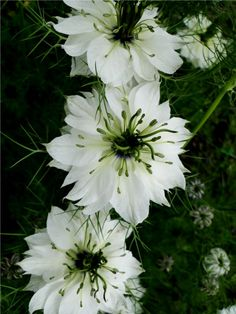 Nigella 'Double White'The most popular Nigella has been the blue variety 'Miss Jekyll', named after the Victorian gardener Gertrude Jekyll. Other varieties come in white; pinks and lilac, there are also single and double forms. This year I've grown 'Double White' with its delicate, papery flowers that remind me of an Elizabethan ruff collar and which provide the perfect background for the bright gre
