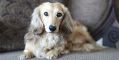 We fell in love with English Cream long-haired miniature dachshunds and our lives have never been the same. Description from crowndachshunds.com. I searched for this on bing.com/images