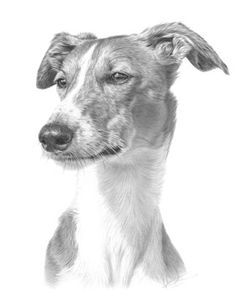 Greyhound by Nolon Stacey of Masham (pencil drawing)