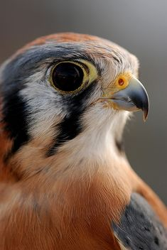American Kestrel (Falco sparverius) Quite possibly my favorite bird species of all time. If I ever decided to get serious about falconry (and the mandatory apprenticeship) then this will be the bird, right here….obligatory Red-tailed hawks be damned. Pretty Birds, Love Birds, Beautiful Birds, Animals Beautiful, Cute Animals, Beautiful Eyes, Rapace Diurne, American Kestrel, Mundo Animal
