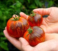 Freckled Indigo #tomato #multi #color #interesting #varieties #beautiful #dark #exotic