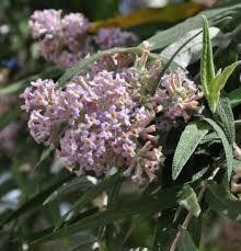 Buddleja salviifolia - Google Search Hedges, Garden Inspiration, Shrubs, Outdoor Gardens, Fragrance, Plants, Bee, Google Search, Medium