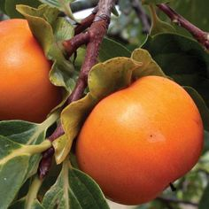 Sharon Fruit 'Fuyu' - Exotic Fruit Trees - Thompson & Morgan