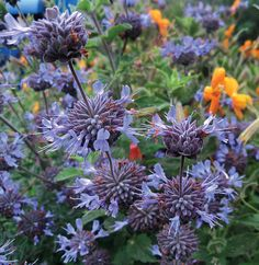 """Salvia clevelandii - from Annie's Annuals: drought tolerant, incredible scent (""""delectable foliar fragrance""""), deer resistant, hummingbird magnet"""