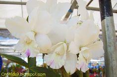 Cattleya secret love Hybrid Orchid