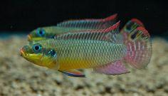 Barwniak szmaragdowy ( Pelvicachromis taeniatus ) 'NANGE' TygrysZoo.pl