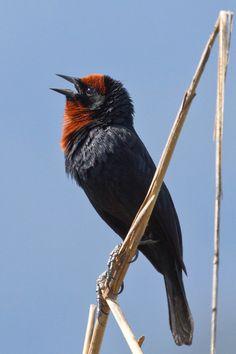 Foto garibaldi (Chrysomus ruficapillus) por Celuta Machado   Wiki Aves - A Enciclopédia das Aves do Brasil