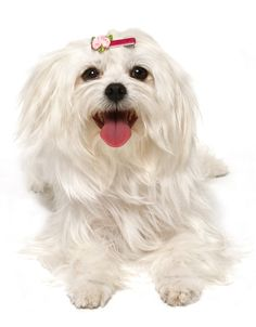maltese dogs | Maltese Dogs and Maltese Puppies. Find Teacup Maltese for sale. How to ...