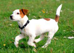 Essa raça tem origem na Inglaterra,por volta de 1800, devido aos esforços do reverendo John Russell. Ele desenvolveu uma linhagem de Fox Terriers para satisfazer suas necessidades: um cão que pudesse correr com seus Foxhounds e fosse ao chão para expulsar raposas e outros pequenos animais de suas tocas. Não por acaso, seu nome de origem é Jack Russel Terrier.   #JackRussellTerrier #Raçadecachorro