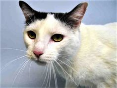 SAKURA - A1113902 - - Brooklyn  *** TO BE DESTROYED 06/23/17 *** Sakura is a beautiful young kitty with a plush white coat and what appears to be a mop of dark hair on top of her head. She has stunning eyes and a cute pink nose, and to top it all off, she's friendly as can be! She's not too fond of being picked up or held, but she's super ready to join her perfect experienced kitty family. She currently has a URI. Sakura is sad – her owner died and now she is in