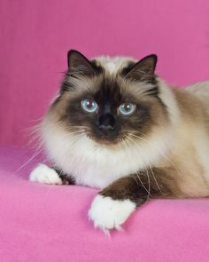 Seriously.  I would become a responsible pet owner to have a cat that looks like this!  She looks just like my old cat, Purr the Blurr!  @Tara Moore