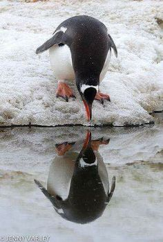 Penguin seeing himself in the reflection of ice. photo by Jenny Varley