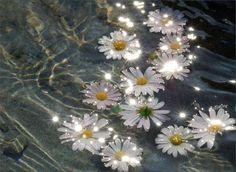 Daisies floating in water