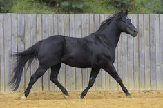 Smooth Cool Cat is a 10 year old black registered American Quarter horse stallion who stands at 14.1hh..