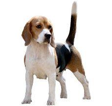 Basset Hound Dog Breed Information,Temperament,Health