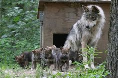 Momma Mexican wolf & her 8wk old pups......having their 1st deer (deer was hit by car)