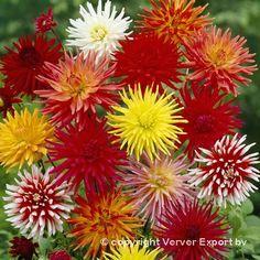 259 Best Dahlia Flower Images On Pinterest Beautiful Flowers Dahlia And Dahlias