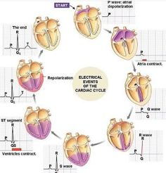 events of the cardiac cycle and their corresponding graph on the EKG. needed this the other day for my patientElectrical events of the cardiac cycle and their corresponding graph on the EKG. needed this the other day for my patient Cardiac Cycle, Cardiac Nursing, Respiratory Therapy, Nursing Notes, Nursing Tips, Nursing Programs, Physician Assistant, Nclex, Med School
