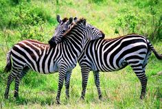 This photo from Rift Valley, West is titled 'Zebra Hug'. Big Animals, Types Of Animals, Zebras, Giraffes, Beautiful Creatures, Animals Beautiful, Beautiful Things, Beautiful People, Mountain Zebra