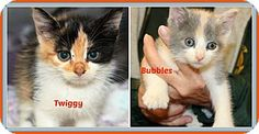 McDonough, GA - Calico. Meet Twiggy, a kitten for adoption. http://www.adoptapet.com/pet/10137467-mcdonough-georgia-kitten  Shelter: Henry County Humane Society E-mail: info@henryhumane.com Website: http://www.henryhumane.com Address: 46 Workcamp Road McDonough, GA 30253