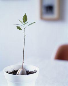 You Can Grow Avocados Indoors