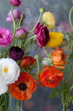Happy flowers Ranunculus, Persian Buttercup, in still life by Georgianna Lane My Flower, Fresh Flowers, Beautiful Flowers, Flower Colour, Cactus Flower, Exotic Flowers, Colorful Flowers, Purple Flowers, Hibiscus Flowers