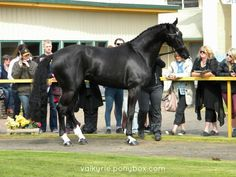 oldenburg horse - Google Search