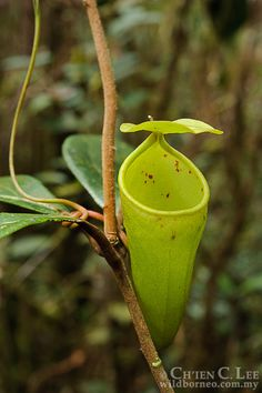 Nepenthes ceciliae. A recently described species of...