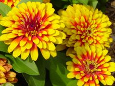 Zinnia - August and September