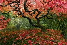 Japanese Maple Tree - photo-wallpaper