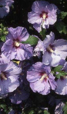 De kweekvorm 'Oiseau Bleu' geldt als een van de mooiste blauw bloeiende cultivars.