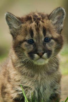 Puma cub cougar