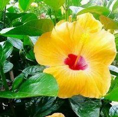Yellow Hibiscus, Philippines  lola's  garden