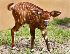 one of my favorite animals in baby form: a BONGO!