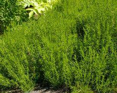Green lavenser cottonGardensOnline: Santolina Virens