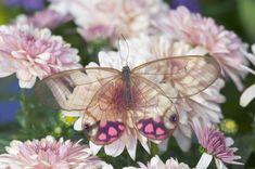 ~Glasswinged Butterfly~