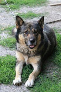 German Shepherd #Dogs #germanshepherd