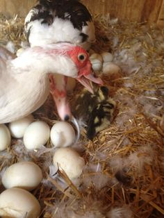 Muscovy ducks are excellent mothers