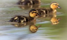 Jana Melichar has sent in these fabulous shots of the ducklings at Charlecote Park, Warwickshire spotted at the beginning of May.