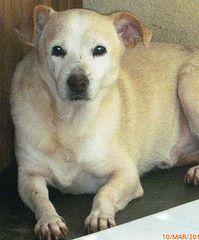 ADOÇÃO - ALBINO Labrador Retriever, Dogs, Animals, Pet Adoption, Labrador Retrievers, Animales, Animaux, Doggies, Labrador