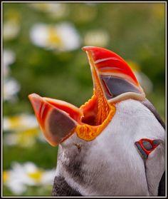 The Atlantic Puffin Bird Small Birds, Little Birds, Pet Birds, Colorful Birds, Wild Photography, Animal Photography, Bird Pictures, Funny Animal Pictures, Bird Barn