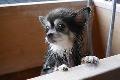 Chihuahua enjoys the bath