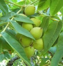 Heartnut Tree Information - Save a Heart – Eat a Heartnut
