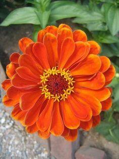 JustinVo love flowers: orange zinnia