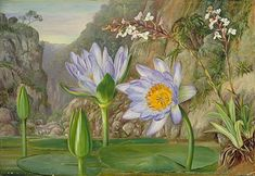 Water-Lily and surrounding vegetation in Van Staaden's Kloof  by Marianne North  Location: South Africa, Van Staaden's Kloof  Plants: Water Lily, Nymphaea stellata Orchid, Disa tripetaloides Euphorbia Agapanthus  © Kew Gardens, London  http://www.kew.org/mng/gallery/plant-portraits
