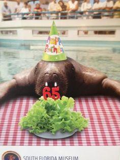 South Florida Museum Bradenton - Snooty turns 65! The longest living manatee in captivity!