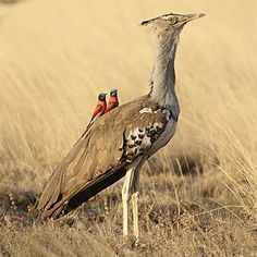 Kori Bustard and Southern Carmine Bee-Eaters are apparently great friends